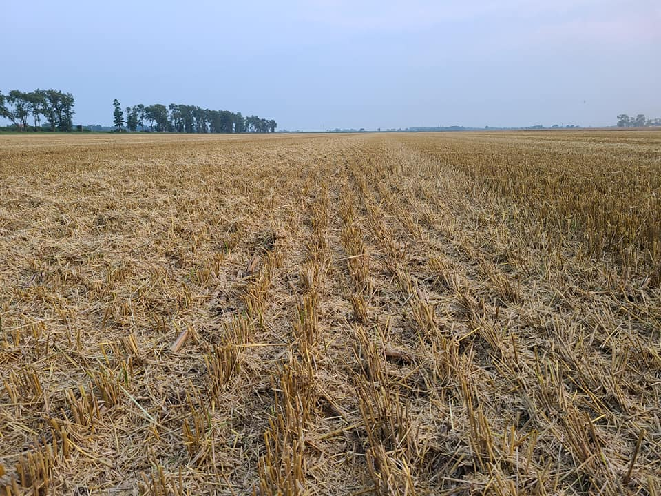 Evenly distributed cut straw on field